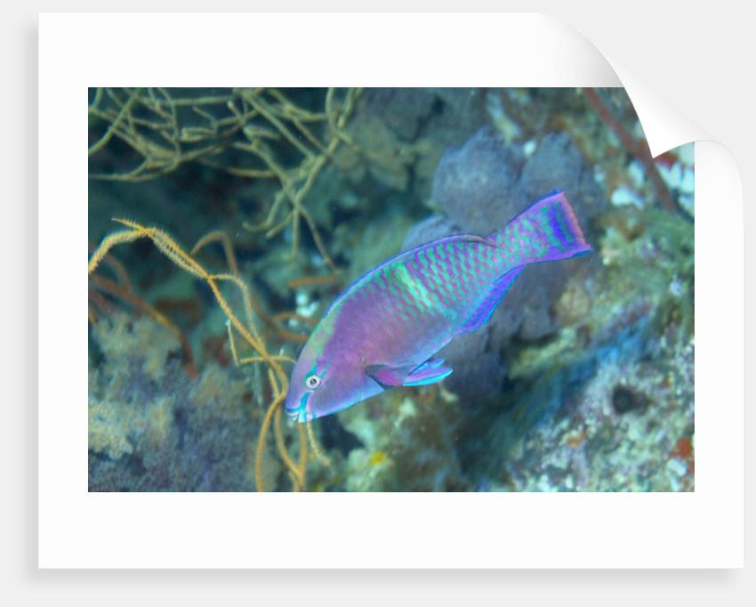 Yellowbar Parrotfish by Corbis