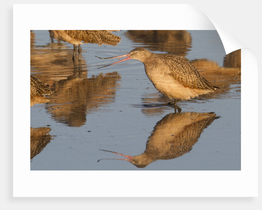 Marbled Godwit calling by Corbis