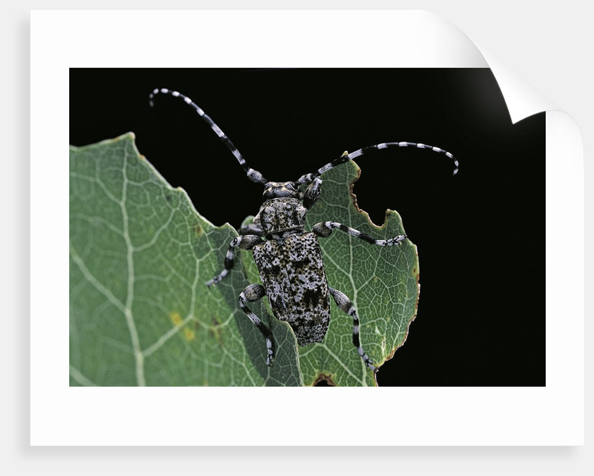 Acanthoderes clavipes (longhorn beetle) by Corbis