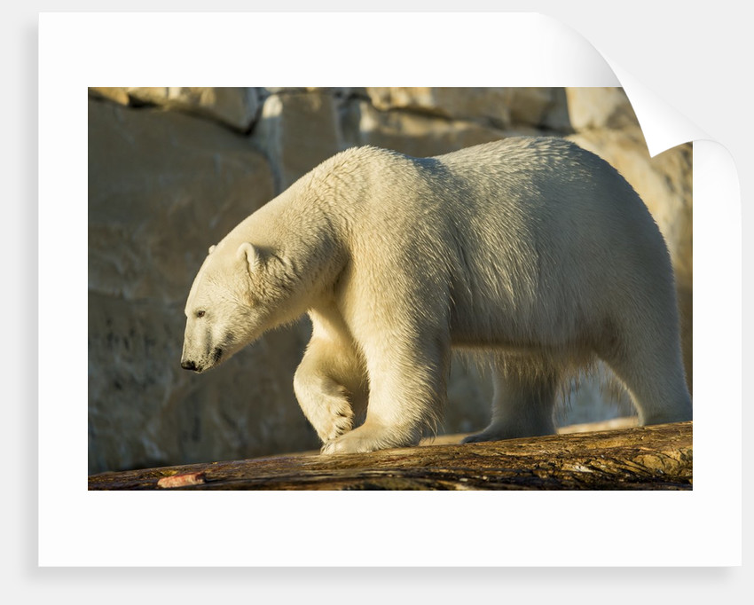 Polar Bear along Hudson Bay, Nunavut, Canada by Corbis