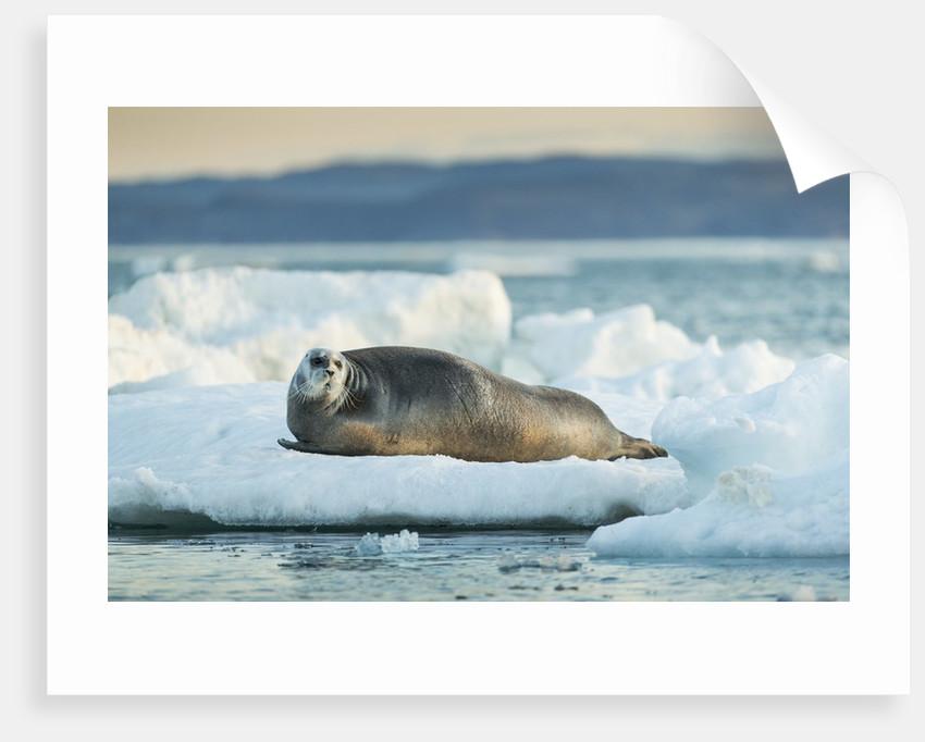 Bearded Seal, Nunavut Territory, CanadaBearded Seal on Sea Ice in Hudson Bay, Nunavut, Canada by Corbis