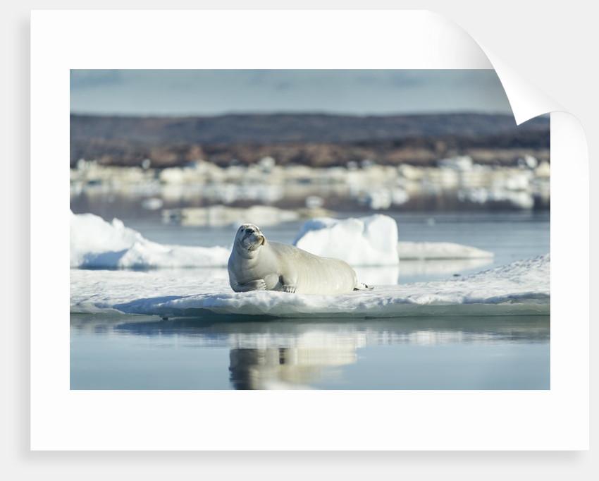 Bearded Seal on Sea Ice in Hudson Bay, Nunavut, Canada by Corbis