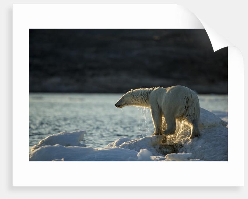 Polar Bear on Iceberg in Hudson Bay, Nunavut, Canada by Corbis