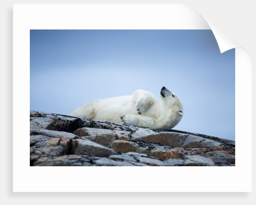 Polar Bear on Harbour Islands, Hudson Bay, Nunavut, Canada by Corbis