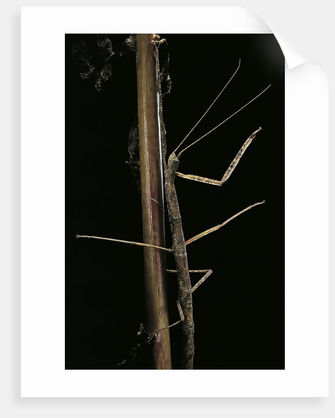 Carausius spinosus (pincer-end stick insect) by Corbis