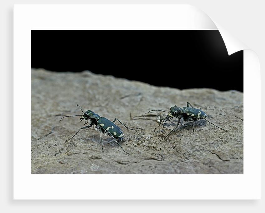 Cicindela gallica (tiger beetle) by Corbis