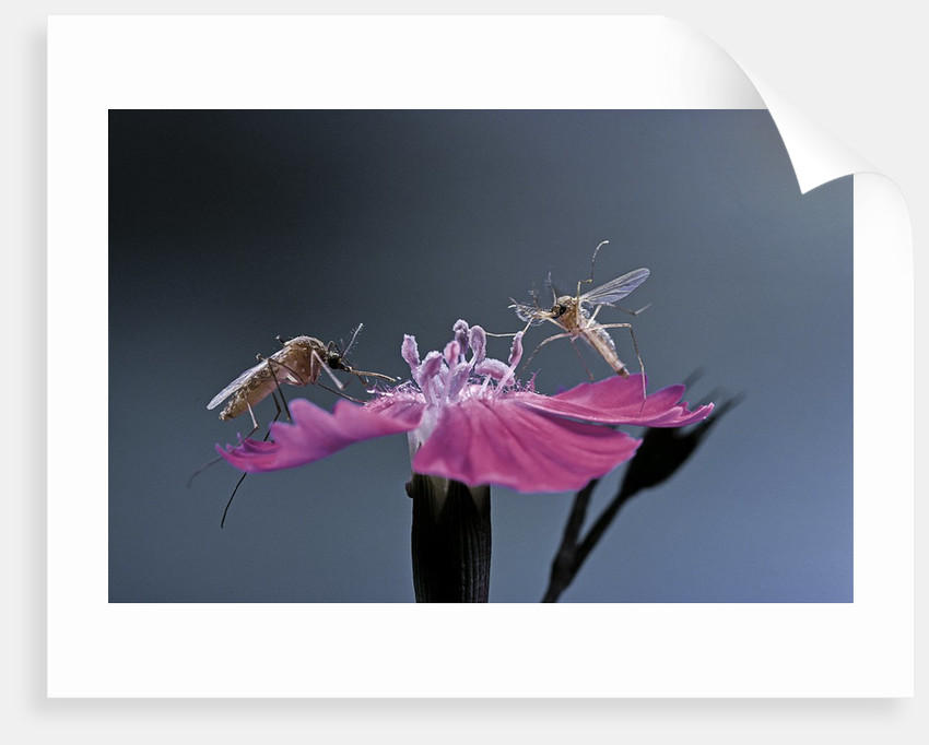 Culex pipiens (common house mosquito) - male with female by Corbis