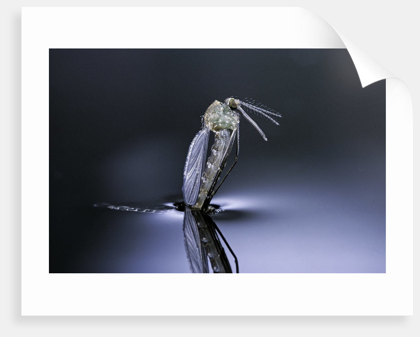 Culex pipiens (common house mosquito) - emerging (d7) by Corbis