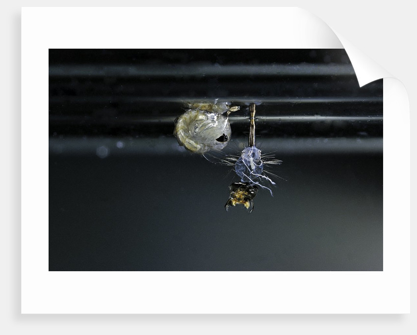 Culex pipiens (common house mosquito) - emerging of the pupa by Corbis