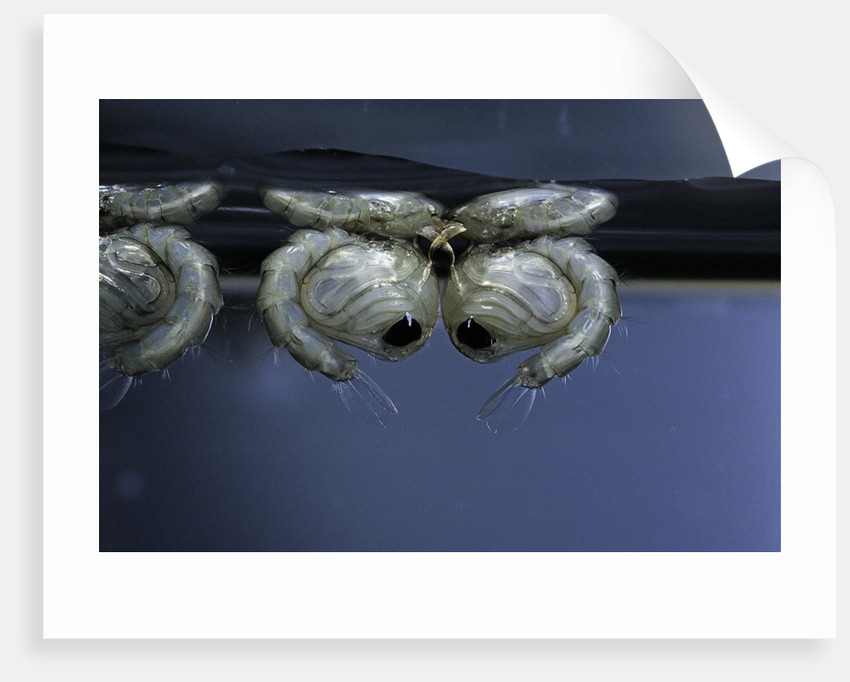 Culex pipiens (common house mosquito) - pupae by Corbis