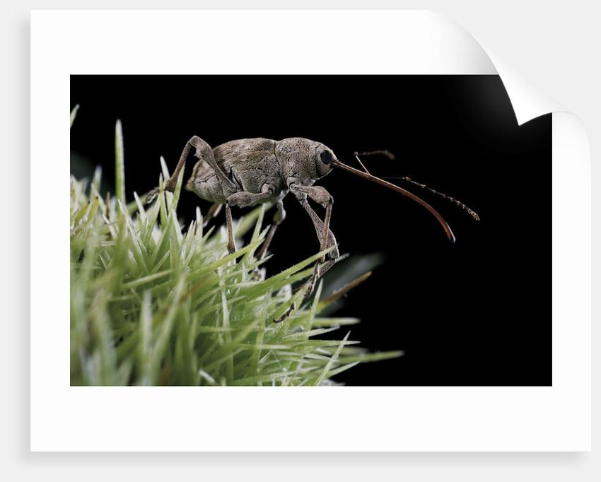 Curculio elephas (chestnut weevil) by Corbis