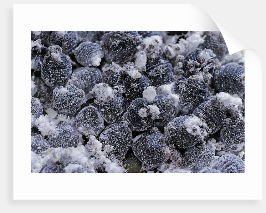 Dactylopius coccus (opuntia cochineal scale) by Corbis