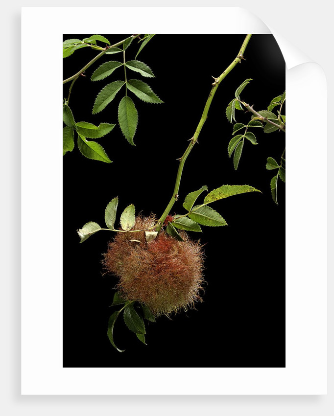 Diplolepis rosae (mossy rose gall wasp) - rose bedeguar gall by Corbis