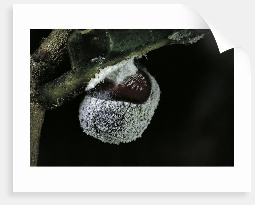 Kermes vermilio (kermes berry) - female by Corbis