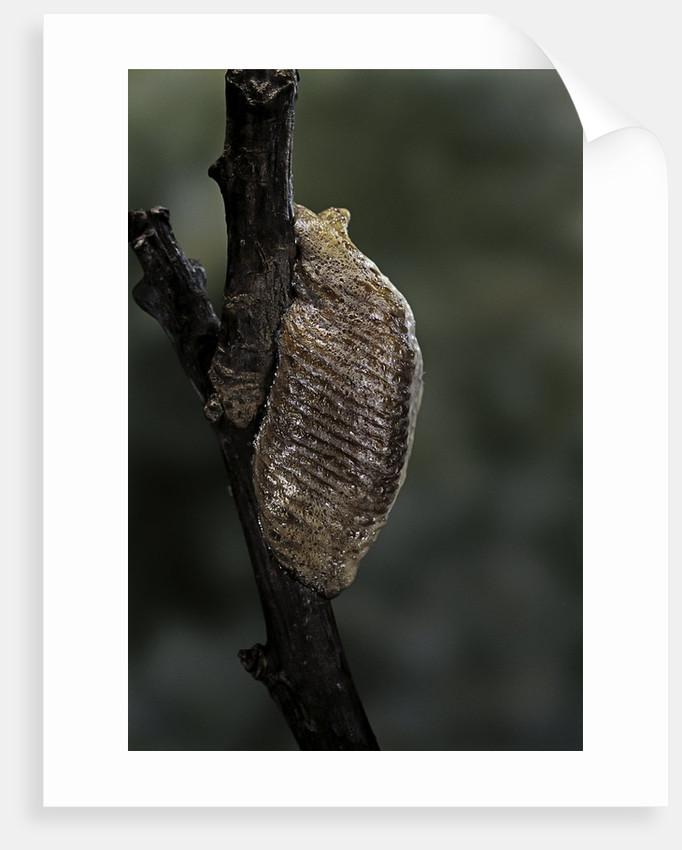 Mantis religiosa (praying mantis) - ootheca by Corbis