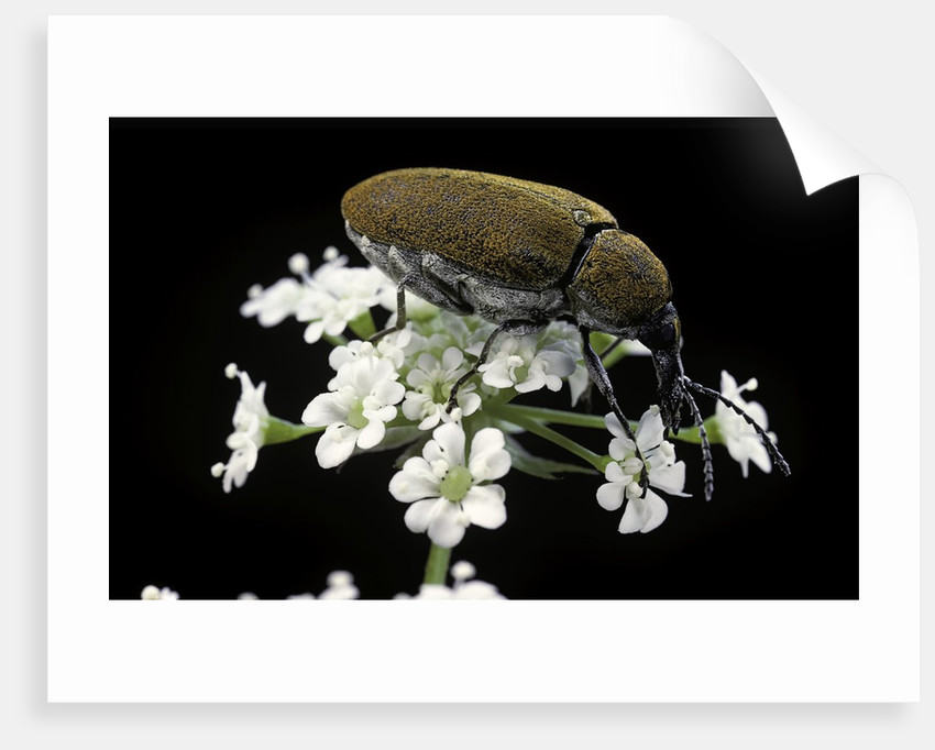 Mycterus curculioides (palm and flower beetle) by Corbis
