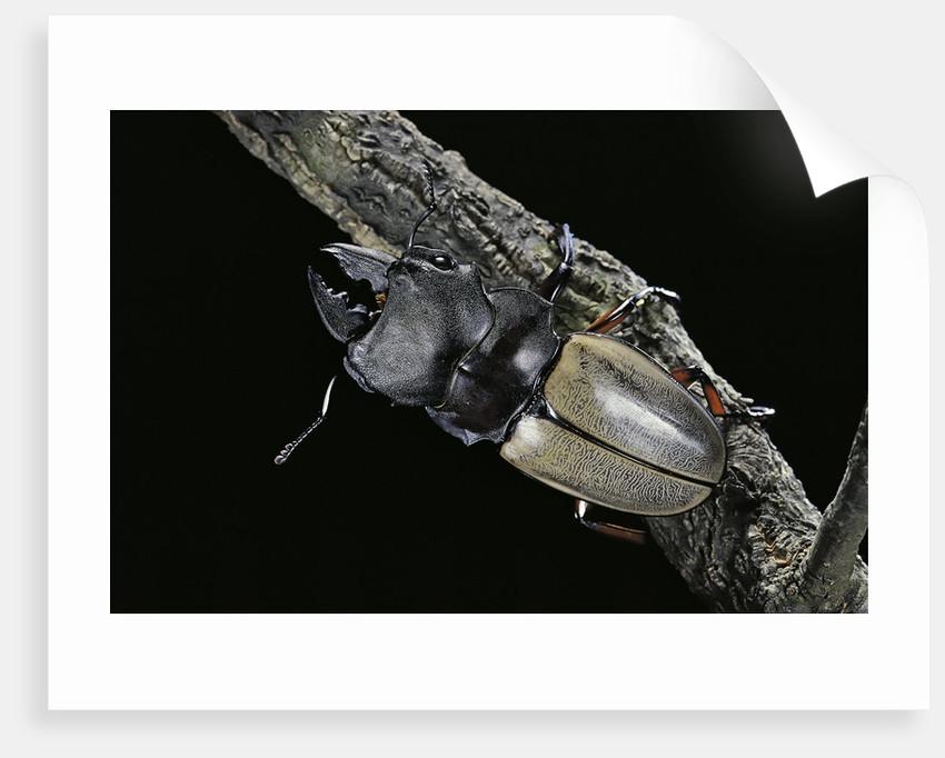 Odontolabis femoralis (stag beetle) by Corbis