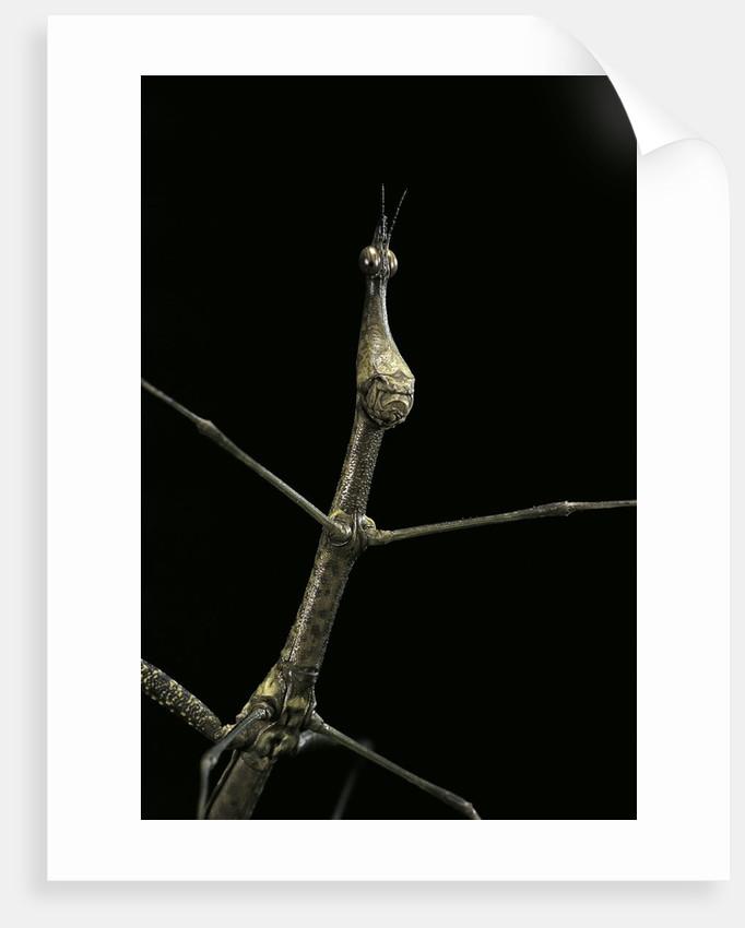 Proscopia luceomaculata (stick grasshopper) by Corbis