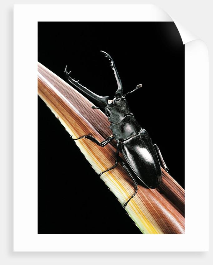 Prosopocoilus giraffa (giraffe stag-beetle) - male by Corbis
