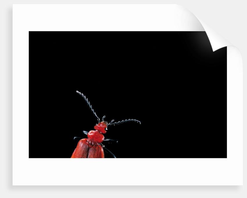 Pyrochroa coccinea (cardinal beetle) by Corbis