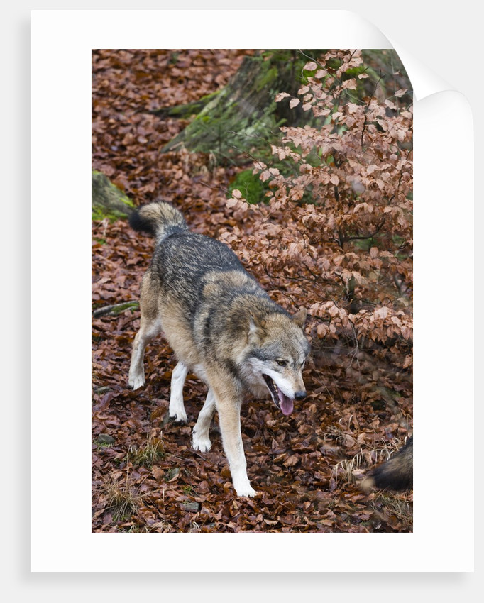 Gray wolf (Canis lupus), Bavarian Forest National Park. by Corbis