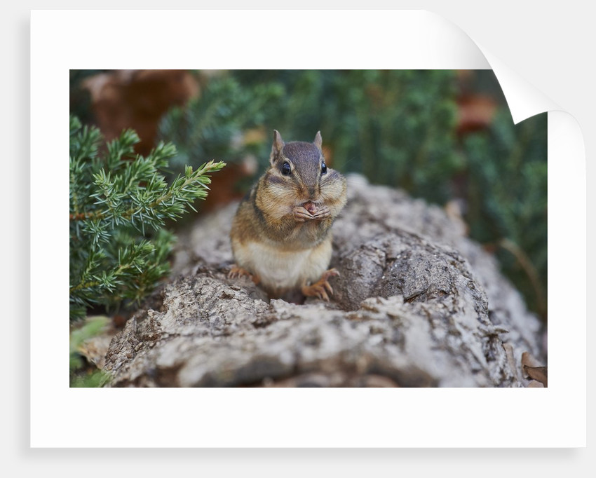 Eastern Chipmunk by Corbis