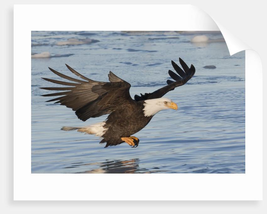 Bald Eagle fishing by Corbis
