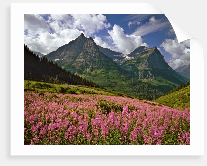 Fireweed blooms in Glacier National Park by Corbis