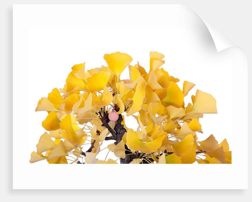 bonsai ginko biloba by Corbis