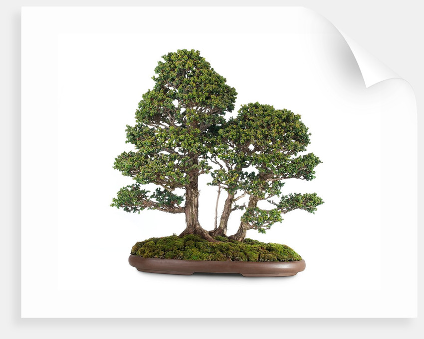 bonsai by Corbis