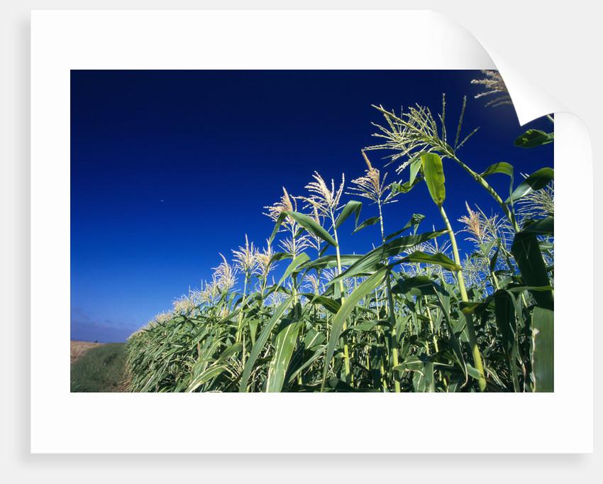Row of Corn Growing in Field by Corbis