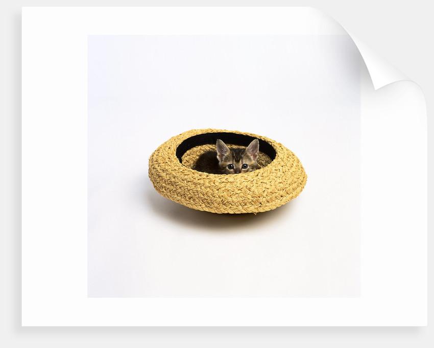 Gray Kitten Hiding in Hat by Corbis