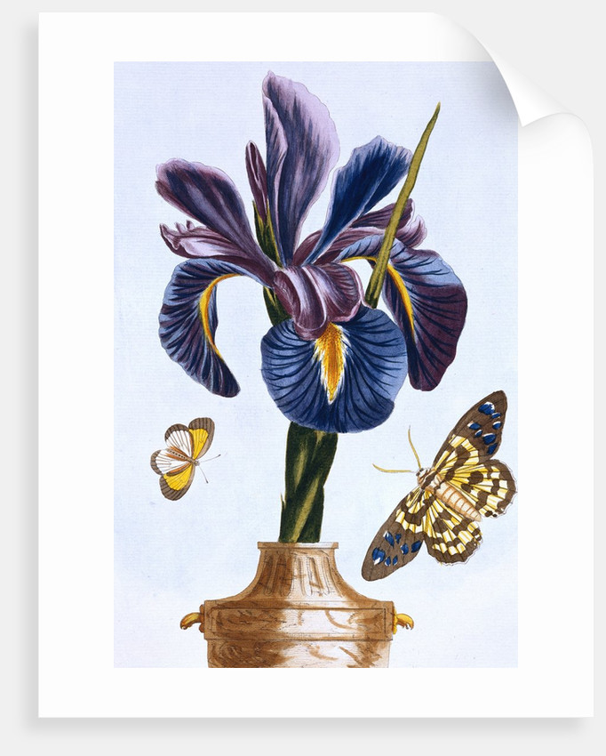 18th Century French Print of Common Iris With Butterflies by Corbis