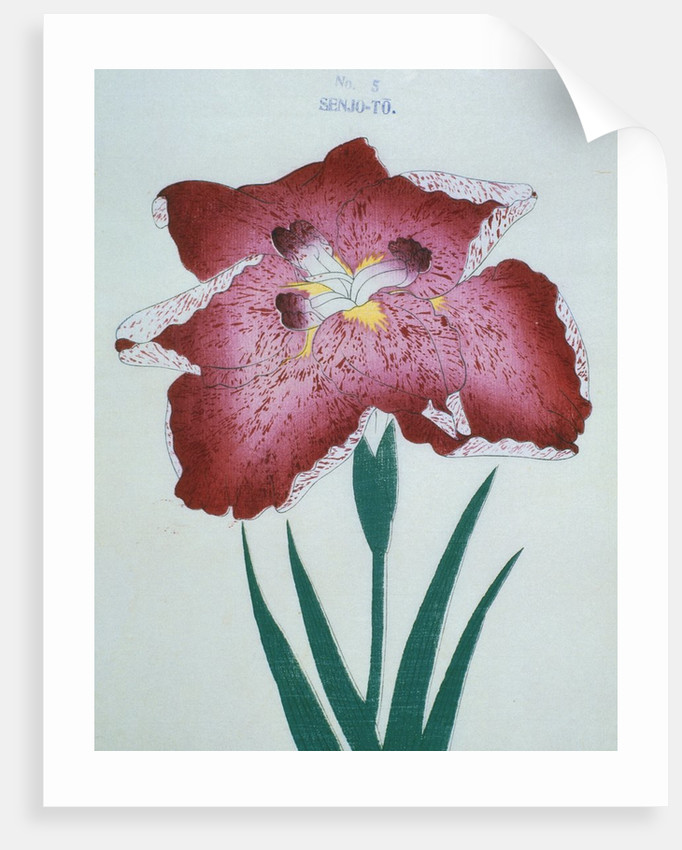 Senjo-To Book Illustration of a Red Iris by Corbis