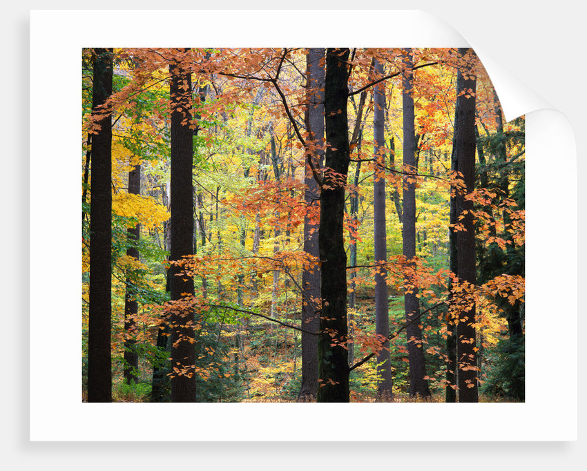 Red Maples in Berkshire Forest by Corbis