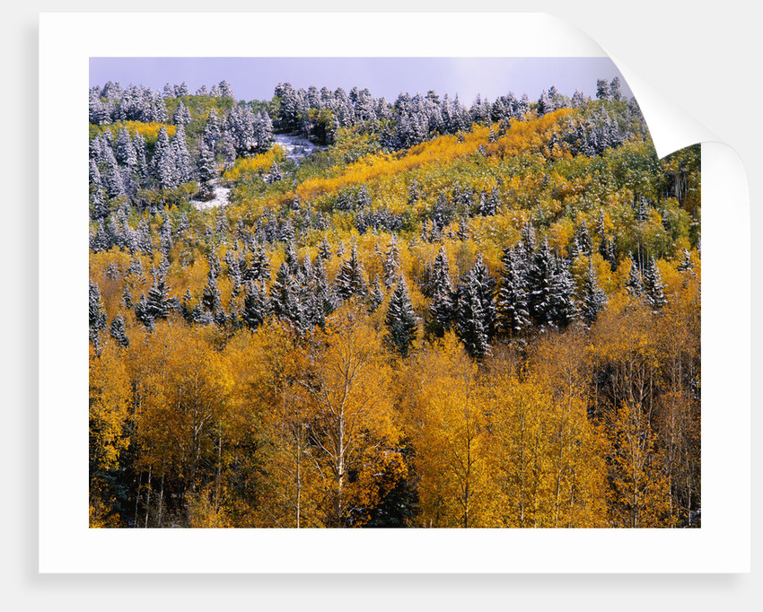 Forest of Aspens and Firs by Corbis