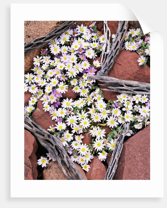 Blooming Desert Stars by Corbis