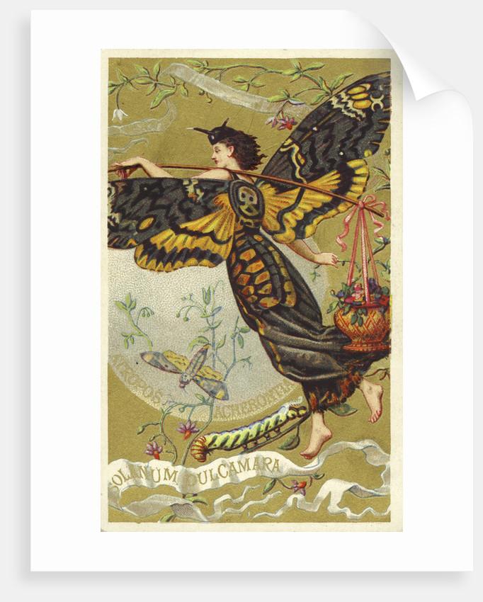Atropos Acherontia, Solanum Dulcamara, eau des Carmes Boyer Perfume Victorian Trade Card by Corbis