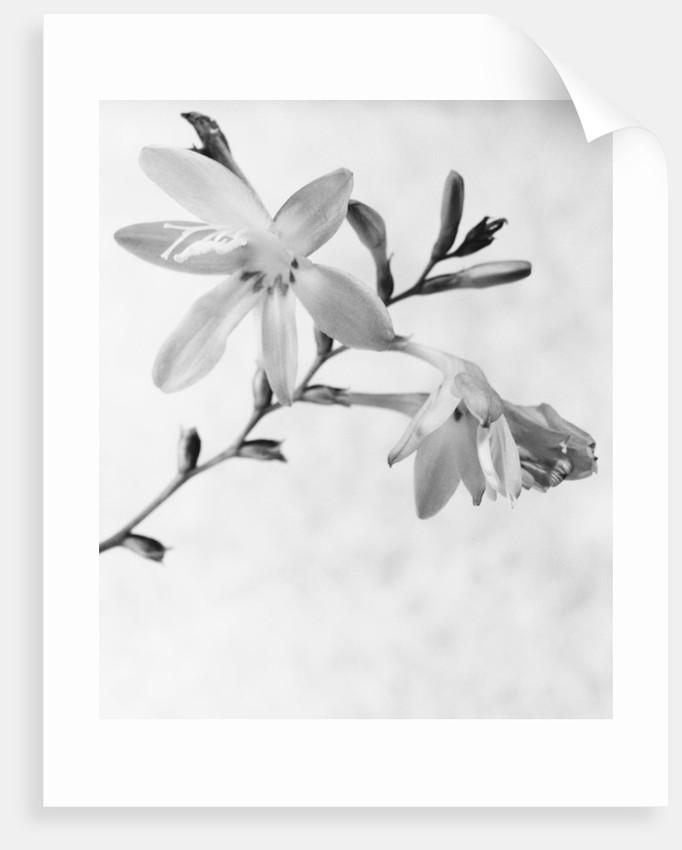 Gladiolus 7 by David Roseburg