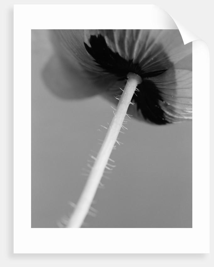 Poppy 10 by David Roseburg