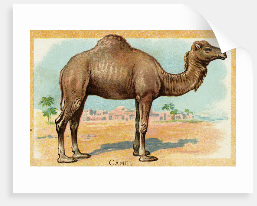 Camel Postcard by Corbis