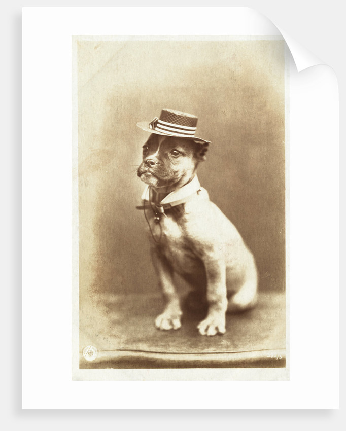 Postcard of a Boxer Puppy Wearing a Brimmed Hat by A.G. Steglitz
