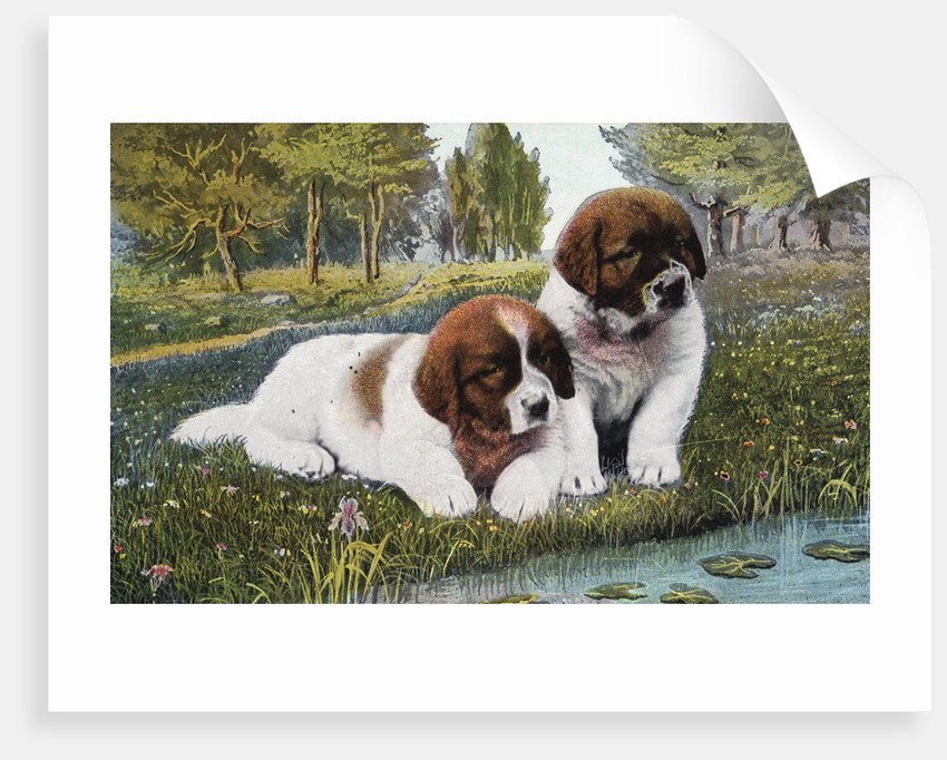 Color Print Postcard with Two St. Bernard Puppies by Corbis