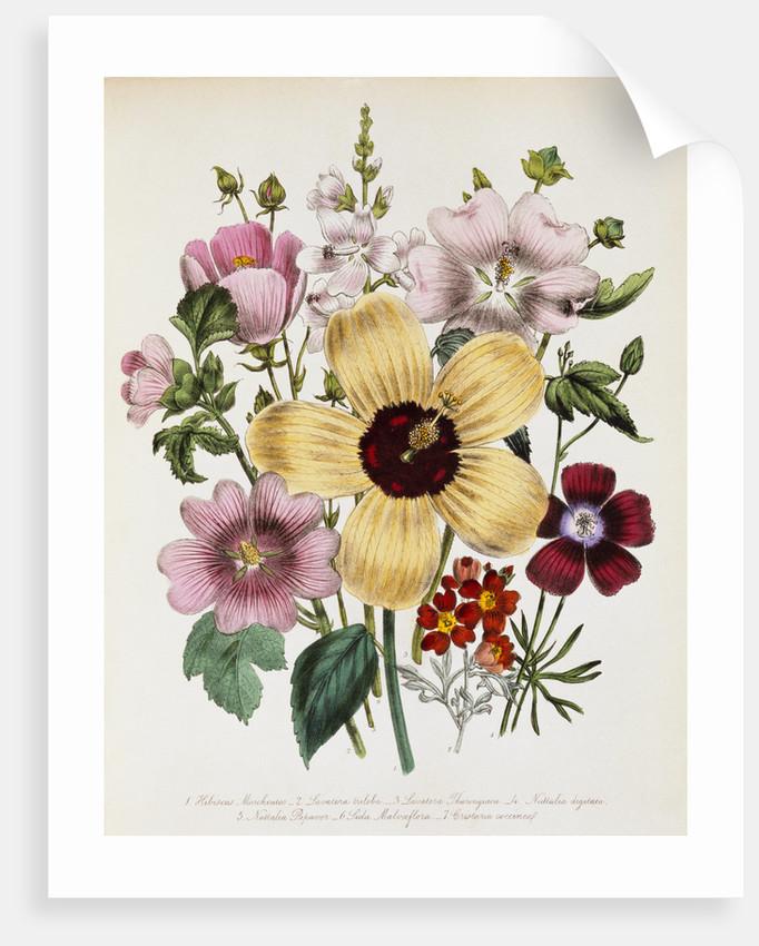 Hibiscus Moscheutos Botanical Illustration by Corbis