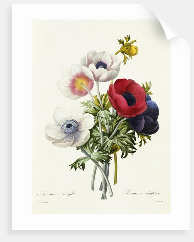 Anemone Simplex by Pierre Joseph Redoute