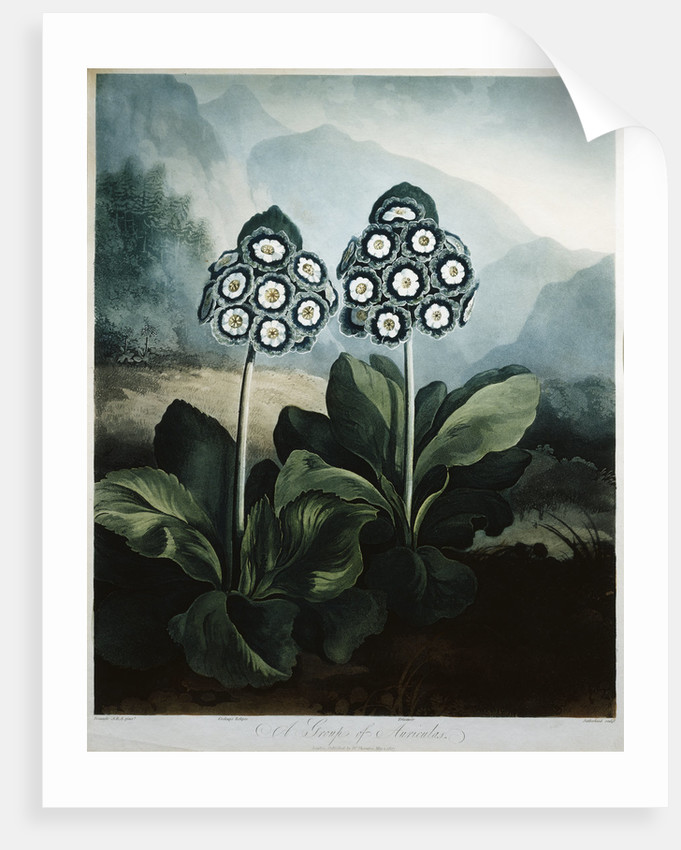 Book Illustration of A Group of Auriculas by Corbis