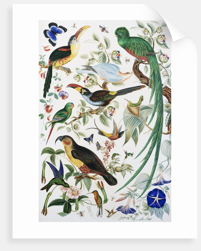 Exotic Parrots by School of John James Audubon