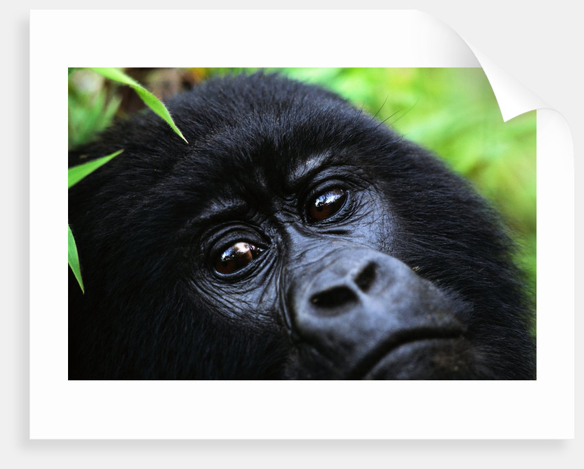 Female Mountain Gorilla by Corbis