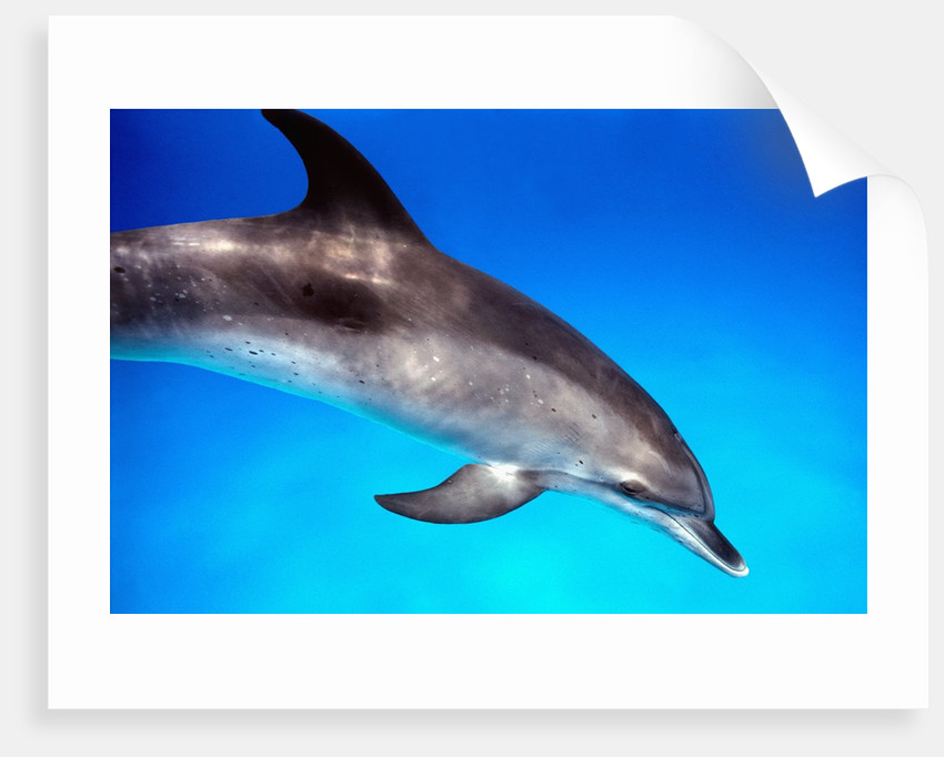 Atlantic Spotted Dolphin by Corbis