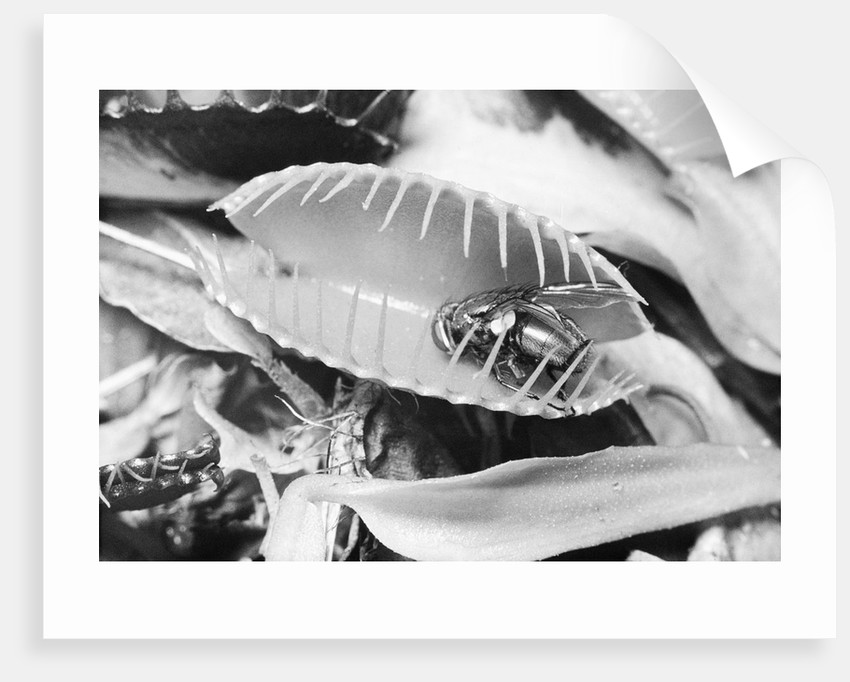 Fly in Leaf Blades of Venus Fly Trap by Corbis